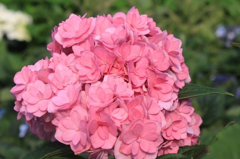 Gefüllte Ballhortensie You & Me 'Together' ® - rosa - Hydrangea macrophylla You & Me 'Together' ® - rosa