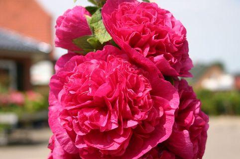 Gefülltblühende Stockrose 'Pleniflora Rot' - Alcea rosea 'Pleniflora Rot'