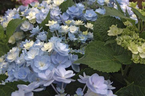Gefüllte Tellerhortensie You & Me 'Forever' ® - Hydrangea macrophylla You & Me 'Forever' ®