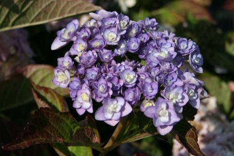 Gefüllte Tellerhortensie You & Me 'Passion' ® - Hydrangea macrophylla You & Me 'Passion' ®