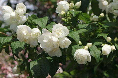 Gefüllter Pfeifenstrauch 'Little White Love' ® - Philadelphus coronarius 'Little White Love' ®