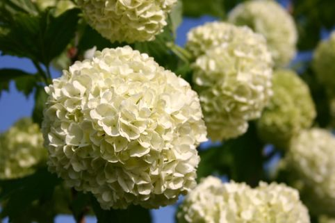 Gefüllter Schneeball / Echter Schneeball 'Roseum' - Viburnum opulus 'Roseum'