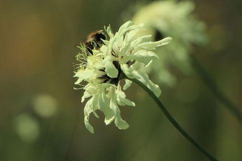 Gelbblühendes Krätzkraut - Scabiosa ochroleuca