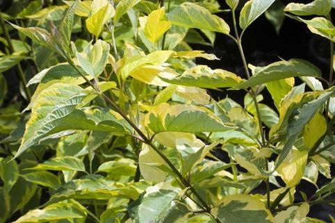 Gelbbunter Hartriegel 'Gouchaultii' - Cornus alba 'Gouchaultii'