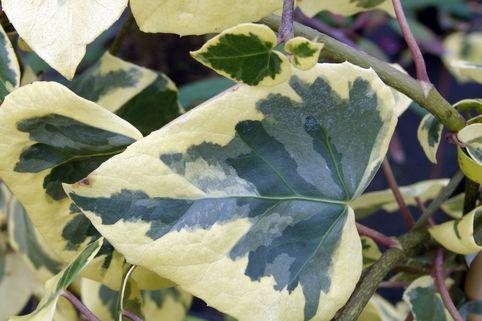 Gelbbunter Kolchischer Efeu - Hedera colchica 'Dentata Aureovariegata'