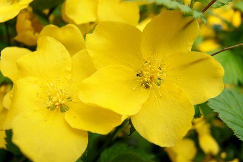 Gelbbunter Ranunkelstrauch 'Golden Guinea' - Kerria japonica 'Golden Guinea'