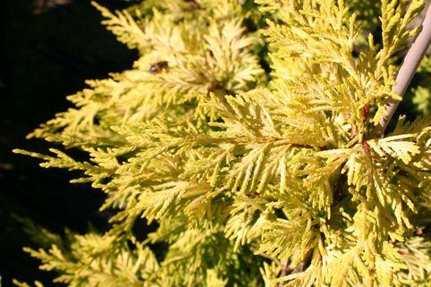 Gelbe Baumzypresse 'Castlewellan Gold' - Cupressocyparis leylandii 'Castlewellan Gold'