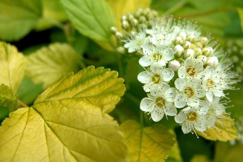 Gelbe Fasanenspiere 'Luteus' - Physocarpus opulifolius 'Luteus'