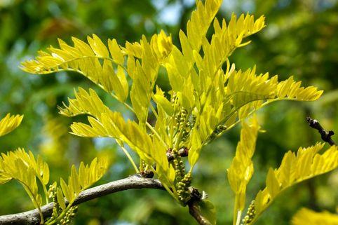 Gelbe Gleditschie / Gold-Gleditsche - Gleditsia triacanthos 'Sunburst'