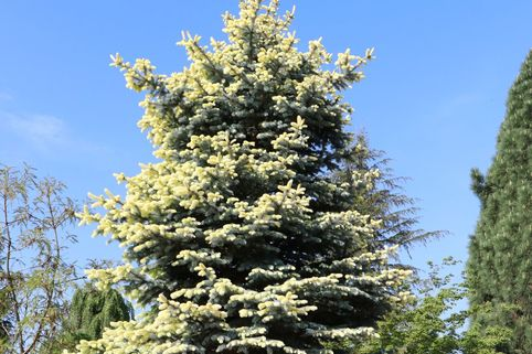 Gelbe Spanische Tanne 'Aurea' - Abies pinsapo 'Aurea'