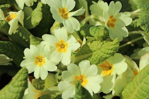 Gelbe Stängellose Schlüsselblume - Primula vulgaris