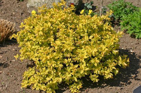 Gelbe Zwergspiere / Japanspiere 'Golden Princess' - Spiraea japonica 'Golden Princess'