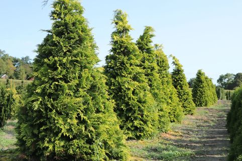 Gelbe Zypresse 'Golden Wonder' - Chamaecyparis lawsoniana 'Golden Wonder'