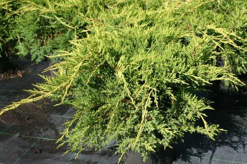 Gelber Pfitzer-Wacholder 'Pfitzeriana Aurea' - Juniperus media 'Pfitzeriana Aurea'