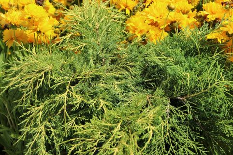 Gelber Wacholder 'Old Gold' - Juniperus media 'Old Gold'