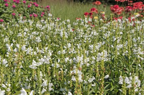 Gelenkblume 'Crystal Peak White' - Physostegia virginiana 'Crystal Peak White'