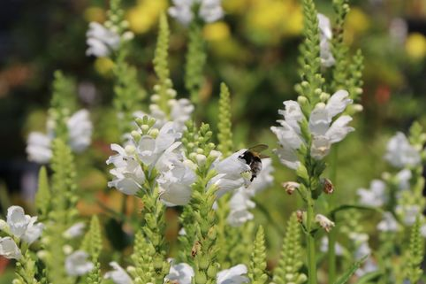 Gelenkblume 'Summer Snow' - Physostegia virginiana 'Summer Snow'