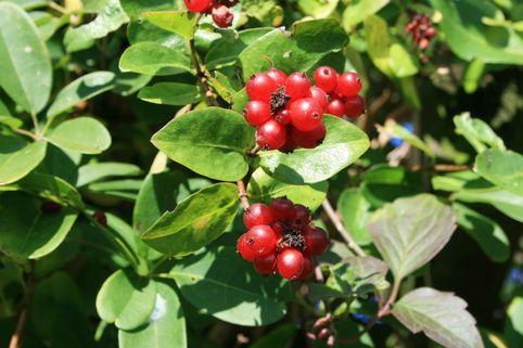 Gemeine Heckenkirsche / Rote Heckenkirsche - Lonicera xylosteum