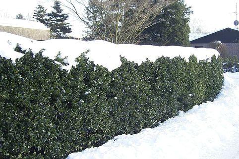 Gemeine Stechpalme / Wald-Stechpalme - Ilex aquifolium
