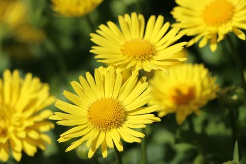 Gemswurz 'Little Leo' - Doronicum orientale 'Little Leo'