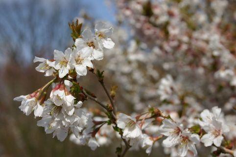 Geschlitzte Kirsche 'Kojou-no-mai' - Prunus incisa 'Kojou-no-mai'