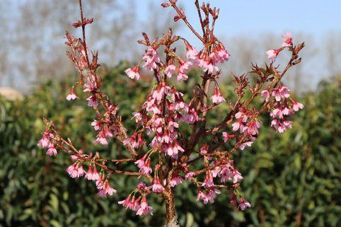 Geschlitzte Kirsche 'Paean' - Prunus incisa 'Paean'