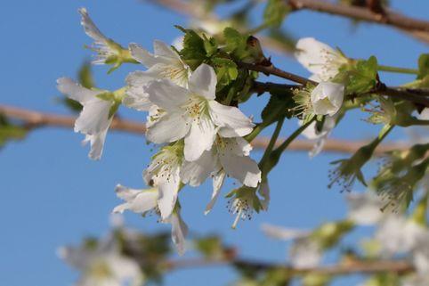 Geschlitzte Kirsche 'Yamadei' - Prunus incisa 'Yamadei'