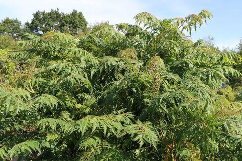 Geschlitzter Essigbaum - Rhus glabra 'Laciniata'