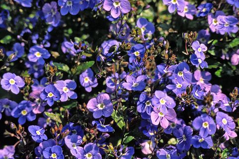 Gestielter Ehrenpreis 'Georgian Blue' - Veronica peduncularis 'Georgian Blue'