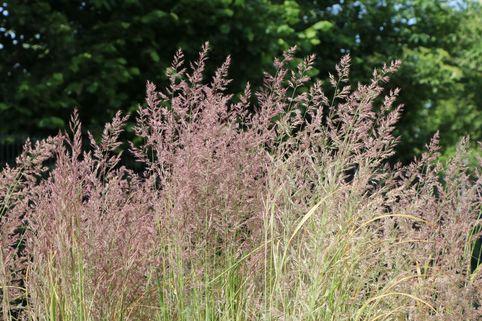 Gestreiftblättriges Reitgras 'Overdam' - Calamagrostis x acutiflora 'Overdam'
