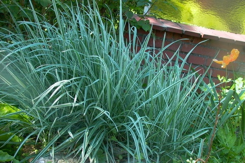 Gestreifter Bulben-Glatthafer 'Variegatum' - Arrhenatherum elatius subsp. bulbosum 'Variegatum'