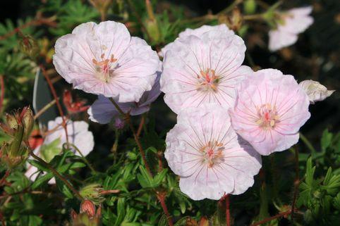 Gestreifter Storchschnabel - Geranium sanguineum var. striatum