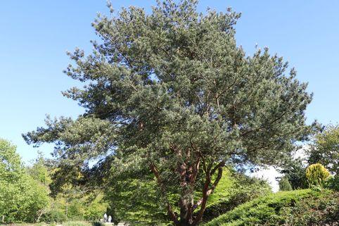 Gewöhnliche Kiefer / Wald-Kiefer / Föhre - Pinus sylvestris