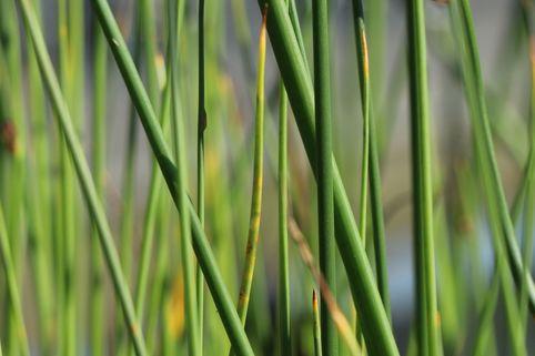 Gewöhnliche Teichbinse / Teichsimse - Scirpus lacustris