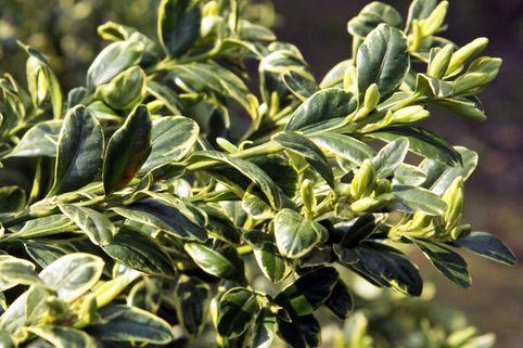 Gewöhnlicher Buchsbaum  'Aureovariegata' - Buxus sempervirens 'Aureovariegata'
