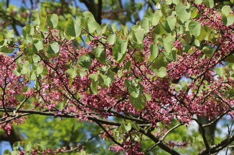 Gewöhnlicher Judasbaum - Cercis siliquastrum