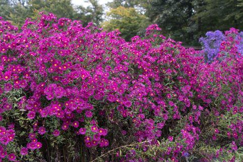 Glattblatt-Aster 'Crimson Brocade' - Aster novi-belgii 'Crimson Brocade'