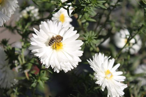 Glattblatt-Aster 'White Ladies' - Aster novi-belgii 'White Ladies'