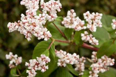 Glockenknöterich 'Southcombe White' - Aconogonon campanulatum 'Southcombe White'
