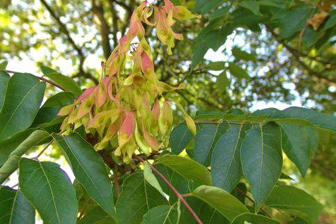 Götterbaum - Ailanthus altissima
