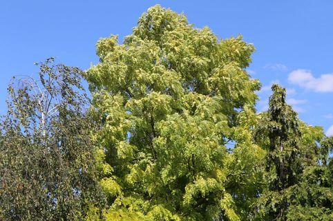 Gold-Akazie 'Frisia' - Robinia pseudoacacia 'Frisia'