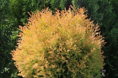 Gold-Lebensbaum 'Rheingold' - Thuja occidentalis 'Rheingold'