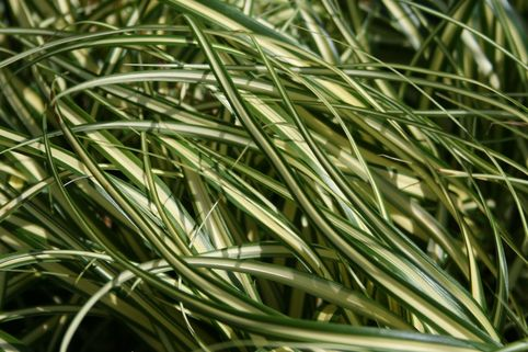 Gold Segge 'Evergold' - Carex oshimensis 'Evergold'