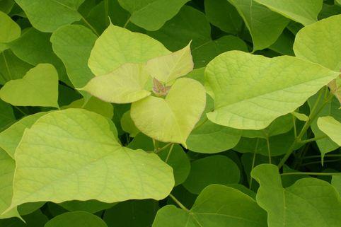 Gold-Trompetenbaum 'Aurea' - Catalpa bignonioides 'Aurea'