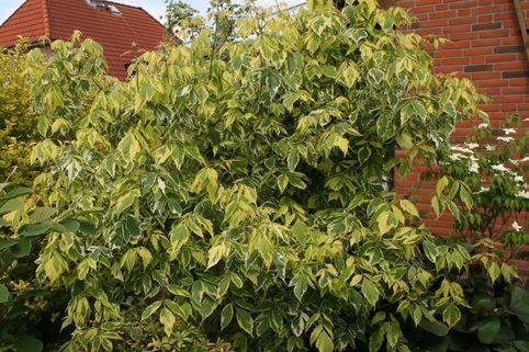 Goldbunter Eschenahorn 'Aureovariegatum' - Acer negundo 'Aureovariegatum'
