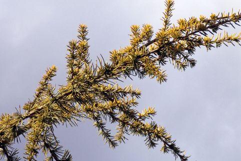 Goldene Atlaszeder 'Aurea' - Cedrus atlantica 'Aurea'