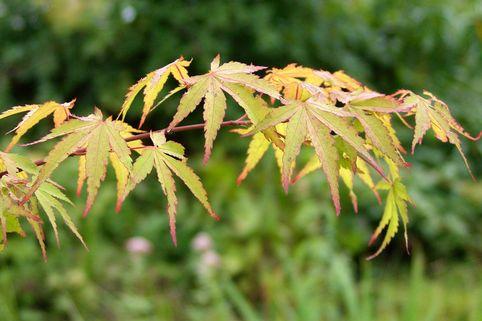 Goldgelber Fächer-Ahorn 'Aureum' - Acer palmatum 'Aureum'