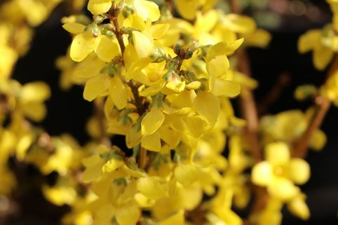 Goldglöckchen / Forsythia 'Minigold' - Forsythia intermedia 'Minigold'
