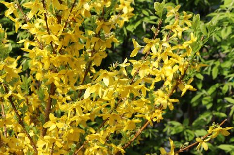 Goldglöckchen / Forsythie 'Week End' ® - Forsythia x intermedia 'Week End' ®