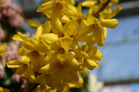 Goldglöckchen 'Goldrausch' - Forsythia 'Goldrausch'
